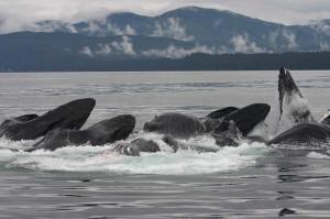 Discover the history of SE Alaska and see whales at the same time with Sound Sailing!